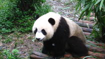 Private Day of Giant Panda Breeding Center and Local Life Experience Tour, Chengdu, City Tours