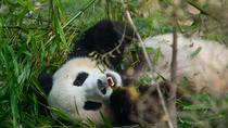 Half-Day Chongqing Tour of Giant Panda and Eling Park, Chongqing, Half-day Tours