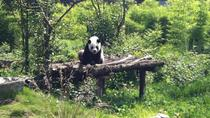 Private Day Tour: Dujiangyan Panda Base and Dujiangyan Irrigation Project from Chengdu, Chengdu, ...