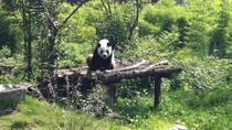 Private Day Tour: Dujiangyan Panda Base and Irrigation Project, Chengdu, Day Trips