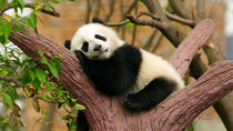 Private Tour: Be a Panda Volunteer for One Day at Dujiangyan Giant Panda Center, Chengdu, Nature & ...