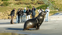 Peninsula Encounters - Standard tour - Penguins, Seals, Sea-lions and Albatross, Dunedin & The ...