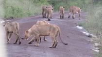 Lions in the city, Nairobi, Safaris