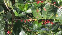How Gourmet coffee is made, Puerto Rico, Coffee & Tea Tours