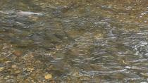 Salmon Run Tour in Goldstream Park, Victoria, Nature & Wildlife