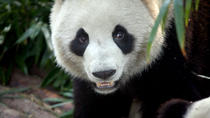 Private Tour: 2-Day Chengdu Tour with Pandas and Leshan Giant Buddha, Chengdu, Private Day Trips