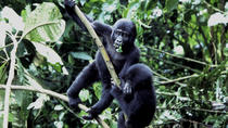 Bush break with the Mountain Gorillas, Kampala, Private Sightseeing Tours