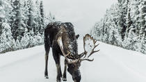 Exciting moose safari down a 70km snowy landscape, Northern Sweden, Cultural Tours