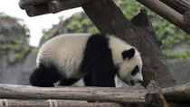 Small Group Max 7 travellers Chengdu Panda Tour with Traditional Lanes: Chengdu Research Base of ...