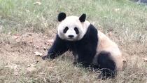 Beijing Family Adventure Tour: Pandas and Juyongguan Great Wall with Kite Flying, Beijing, Family...