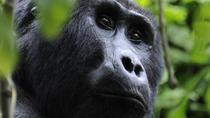 4-Day Fly-In Gorilla Tracking Safari from Entebbe, Kampala, Multi-day Tours
