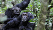 4 Days Fly in Double tracking Gorilla safari, Kampala, Multi-day Tours