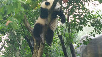 Chengdu Impression of Giant Panda and Sichuan Cuisine Cooking Experience, Chengdu, Day Trips