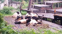All-Inclusive Privater Tagesausflug nach Chengdu Giant Panda Base und Leshan Giant Buddha Trip mit ...