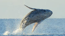 Whale Watching Adventure Hawaii, Big Island of Hawaii, Dolphin & Whale Watching