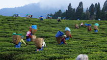 Private Tea Plucking and Tea factory tour from Nuwara Eliya, Nuwara Eliya, Private Sightseeing Tours