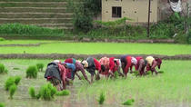 Rice Plantation Experience in Bhaktapur, Kathmandu, Private Day Trips
