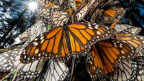 Monarch Butterfly Sanctuary Day Tour Including Lunch from Mexico City, Mexico City, Nature & ...