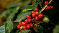 Puerto Quetzal Shore Excursion: Coffee Process and Jade Factory in Antigua, Puerto Quetzal, Ports...