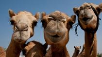 Sunset Camel Ride Including BBQ Dinner From Ras Al Khaimah, Ras Al Khaimah, Nature & Wildlife