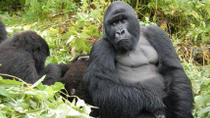 5 Day Cozy Encounter with Volcano Silverback Mountain Gorillas and Avifaunal Rambling in the Rugezi ...
