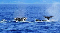 Private Whale and Dolphin Adventure 2-Hour Excursion in Dana Point, Dana Point, Dolphin & Whale ...