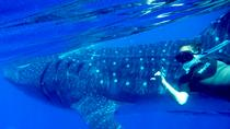 Full-Day Whale Shark Tour from Cozumel, Cozumel, Snorkeling