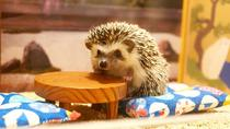 Hedgehog home cafe Chiku Chiku Cafe, Kyoto, Theme Park Tickets & Tours