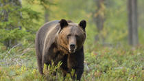 Small-Group Brown Bear-Watching Experience from Brasov, Brasov
