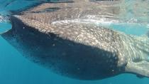 Small-Group Whale Shark and Snorkeling Tour from Cancun, Cancun, Dolphin & Whale Watching