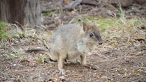 Evening Woylie Encounter from Busselton or Dunsborough, Margaret River, Nature & Wildlife