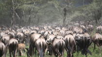 Tanzania 5 Days Private Safari - Wildebeest Migration from Arusha, Arusha, Multi-day Tours