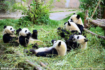 Full-Day Volunteer Experience at Dujiangyan Panda Base