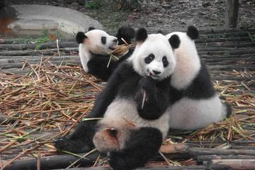One Day Giant Panda Leisure Private Tour in Chengdu