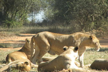 Half-Day Lion Park Safari from...