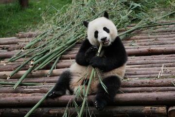 成都ジャイアントパンダ繁殖研究基地半日ツアー