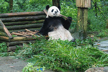 Giant Panda and Leshan Buddha Day Trip from Chengdu