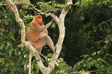 Full-Day Sepilok Orangutan and Labuk Bay Proboscis Monkey from...