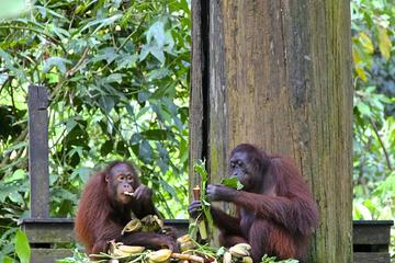 Full-Day Sepilok Orangutan and Sun...