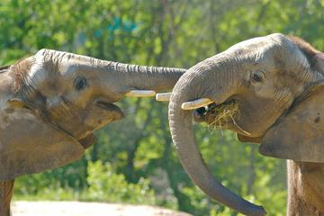 Tour del santuario degli elefanti da Kuala Lumpur