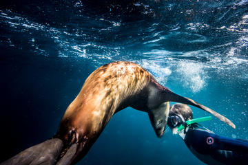 Swimming and Snorkeling in Area with Sea Lions in Sea of Cortez