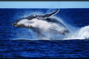 Whale Watching Cruise from Redcliffe...