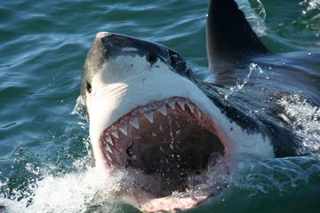 Shark Cage Diving Private Tour from...