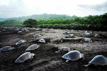 Turtle Tour Near Samara Beach