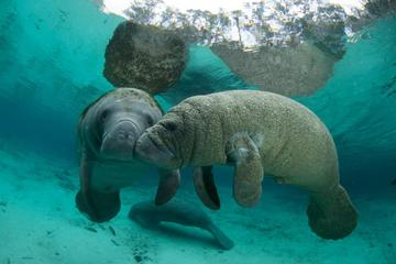 Book Private Manatee Swim in Crystal River on Viator