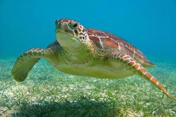 Aventura com tartarugas, mergulho com snorkel e cenotes em Akumal