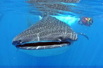Excursion-rencontre avec les requins-baleines tout compris à Cancun