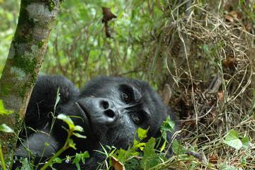7 Day Gorilla Trekking Adventure