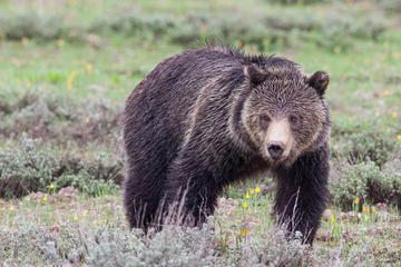 Book Half-Day Wildlife Safari From Jackson Hole on Viator