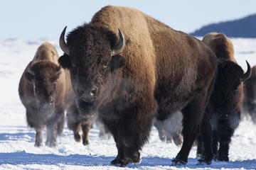 Day Trip Winter Best of Jackson Hole Wildlife Safari near Jackson, Wyoming